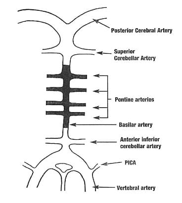 The singular basilar artery ascends along the anterior surface of the brain stem, supplying its vascular needs through the pontine arteries. The basilar artery ends when it bifurcates into the paired posterior cerebral arteries