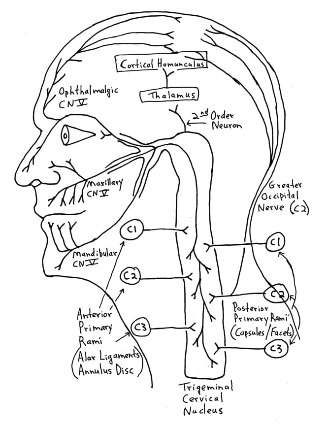 side view of nervous system in head