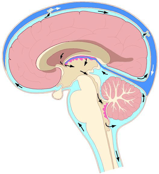 In the brain and spinal cord, the artery-vein relationship has a third player: the cerebral spinal fluid. It is the cerebral spinal fluid that is primarily responsible for maintaining the health of the neurons of the brain and spinal cord. However, because the cerebral spinal fluid is made in the brain from the brain's blood supply, any compromise of either brain arterial supply or venous drainage will adversely affect the flow of cerebral spinal fluid.