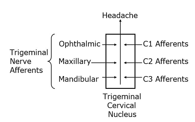 """The trigeminocervical nucleus is """"defined by its afferent fibers."""" The primary afferent fibers that go into the trigeminocervical nucleus are from the trigeminal nerve (cranial nerve V), and from the upper three cervical nerves (C1, C2, C3). Second order afferent neurons arising in the trigeminocervical nucleus ascend to create an electrical signal in the brain that is interpreted as """"headache."""""""