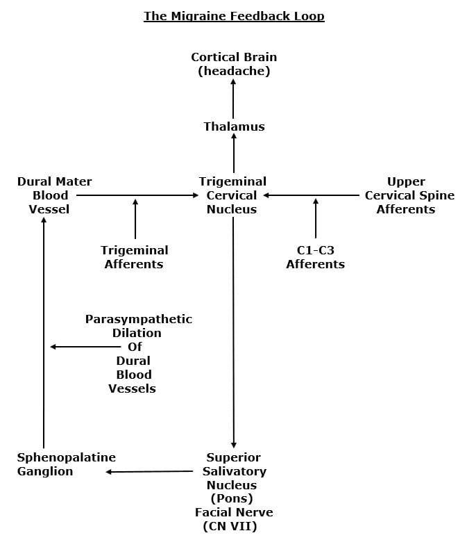 It is proposed that migraine headaches occur when the blood vessels of the dura mater dilate, depolarizing branches of the trigeminal nerve (cranial nerve V), sending the headache pain electrical signal to the trigeminocervical nucleus, then to the thalamus, then to the cortical brain where the pain is perceived (5, 7).  There is a synaptic communication between the trigeminal nerve (cranial nerve V) and the facial nerve (cranial nerve VII). The dilation of the dural blood vessels is via the facial nerve (cranial nerve VII), from the parasympathetic production and release of the neurotransmitter acetylcholine. The feedback loop involves relays in the superior salivatory nucleus and the sphenopalatine ganglion (5, 7).  Importantly, the entire feedback loop is influenced by the afferent integrity of the upper cervical spine nerve roots (C1-C2-C3).