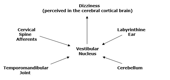 A number of players can send the electrical signal to the quarterback (vestibular nucleus) before the electrical signal is sent to the cortical brain. As noted in the graphic above, these other players include:</p>  <p>•Labyrinthine Inner Ear (2)<br /> •Cerebellum (3)<br /> •Temporomandibular Joint (TMJ) (4, 5, 6)<br /> •Neck (cervical spine) afferents (7)<br />